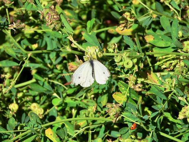 Day 2 -  Kindersley SK to Melfort Sk - A white butterfly at the Motherwell Reservoir