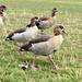 Ducks. Round Pond, Kensington Gardens