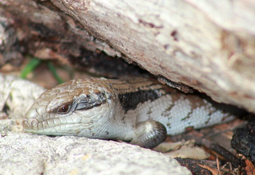 Eastern Blue Tongue Lizard (Tiliqua scincoides)