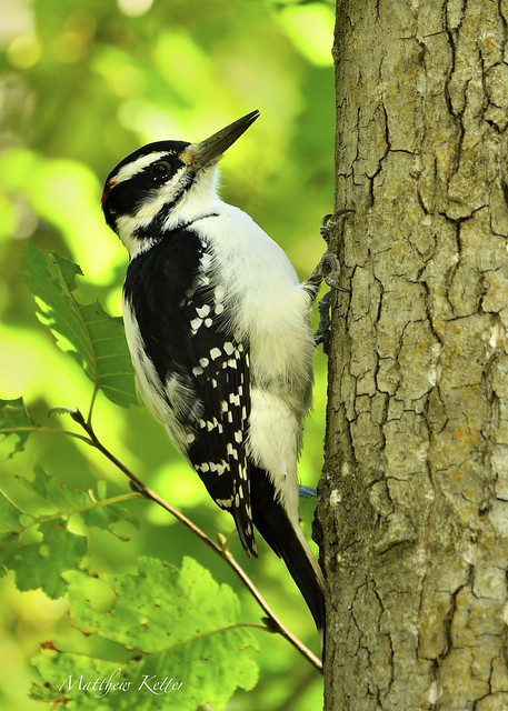 Hairy Woodpecker (Dryobates villosus)