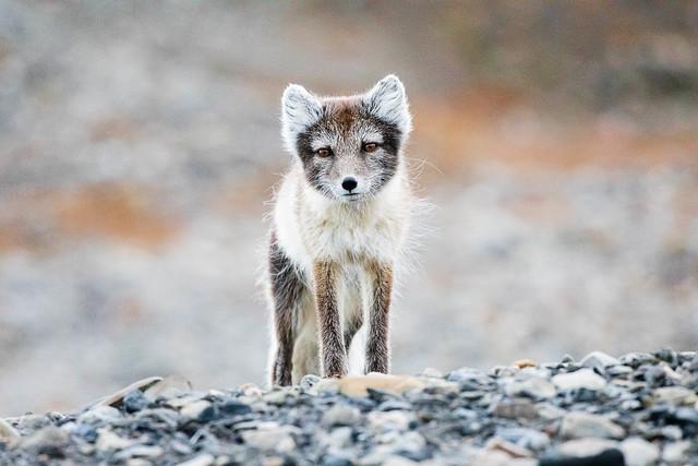 Little arctic fox seen in the Norwegian arctic islands of Svalbard