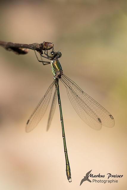 Weidenjungfer  //  Western Willow Spreadwing