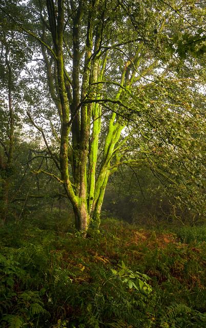 Tree, Parkhill Wood, Lochwinnoch, Renfrewshire, Scotland, UK