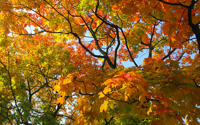 Nature of Moscow, the Colorful Fireworks of the luxury Autumn Maple Foliage (Acer Platanoides, Sapindaceae) in the Central Park of Culture and Leisure