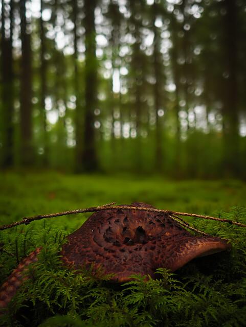 Habichtspilz im Wald