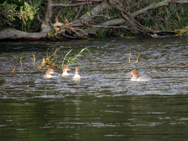 Common Goosander - River Tweed, Abbotsford 2020
