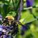 Bee Working away on Salvia blossom
