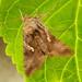 Nachtfalter (unbestimmt) (Lepidoptera indet.)