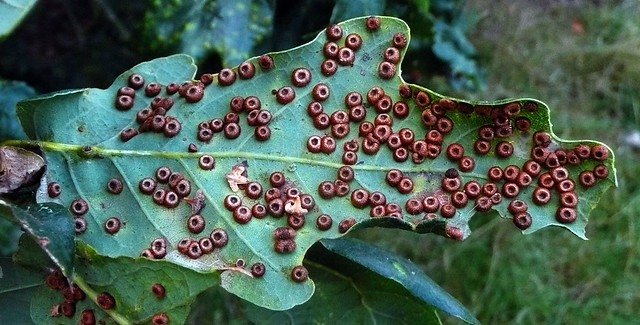 Silk button Spangle galls