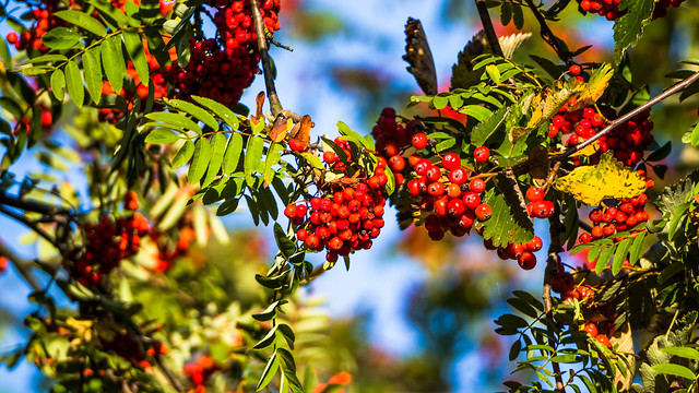 The warmth of the red rowan