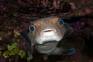 Spotfin Porcupinefish - Chilomycterus reticulatus
