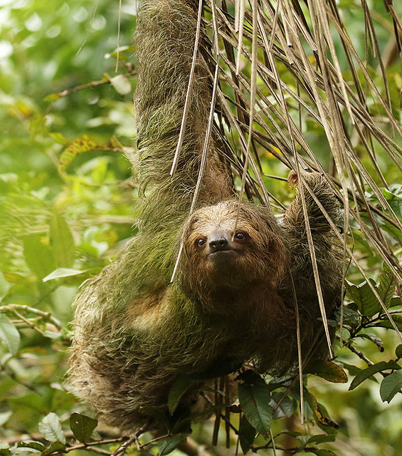 Brown-throated three-toed sloth - Costa Rica
