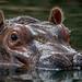 """<p><a href=""""https://www.flickr.com/people/154721682@N04/"""">Joseph Deems</a> posted a photo:</p>  <p><a href=""""https://www.flickr.com/photos/154721682@N04/50386222462/"""" title=""""Boipelo - Hippopotamus""""><img src=""""https://live.staticflickr.com/65535/50386222462_c4f65e40e4_m.jpg"""" width=""""240"""" height=""""147"""" alt=""""Boipelo - Hippopotamus"""" /></a></p>  <p>Dallas Zoo</p>"""
