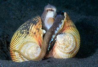 Coconut or (Veined) Octopus - Amphioctopus marginatus