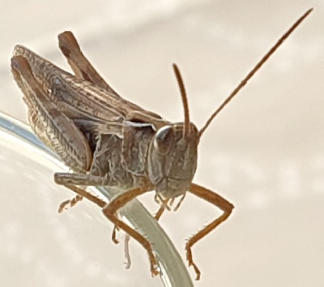 Heuschrecke (unbestimmt) (Orthoptera indet.)