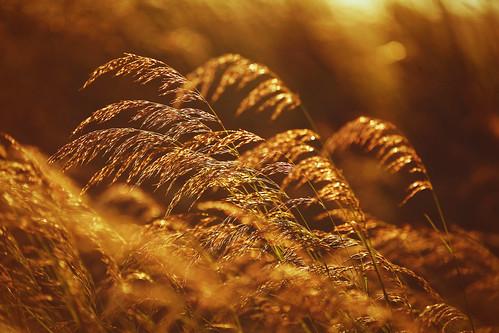 sluneční tráva 1