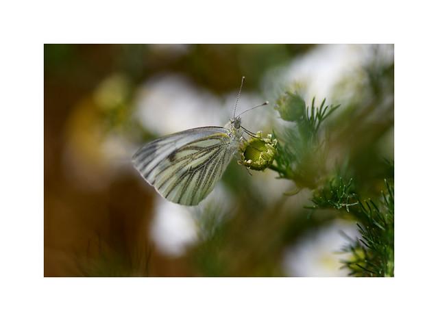 Green Veined White..