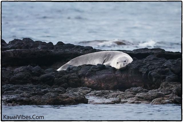 Sleepy Seal, Aliomanu Beach, Kauai.