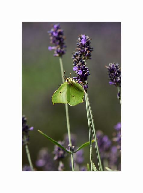 A Brimstone on Lavender..