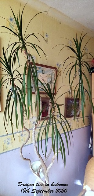 Dragon tree in bedroom 18th September 2020