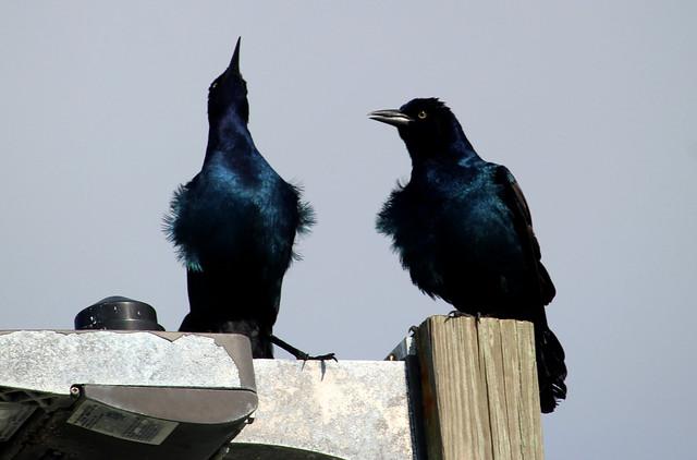 Topsail Beach - Chatty Crows