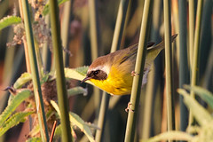 Common yellowthroat.  My first sighting!