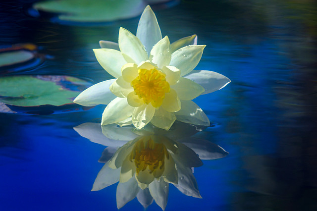 Yellow water lily and reflection at Naples Botanical Garden, Naples, Florida
