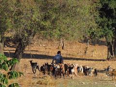 Herding.