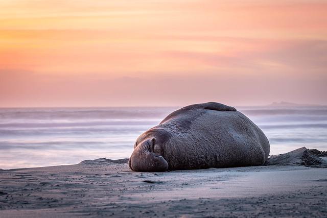 California Elephant Seal