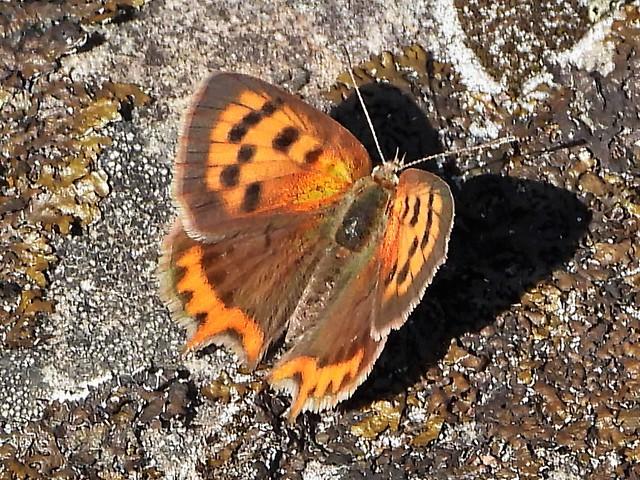 BORBOLETA  ( lycaena phlaeas )