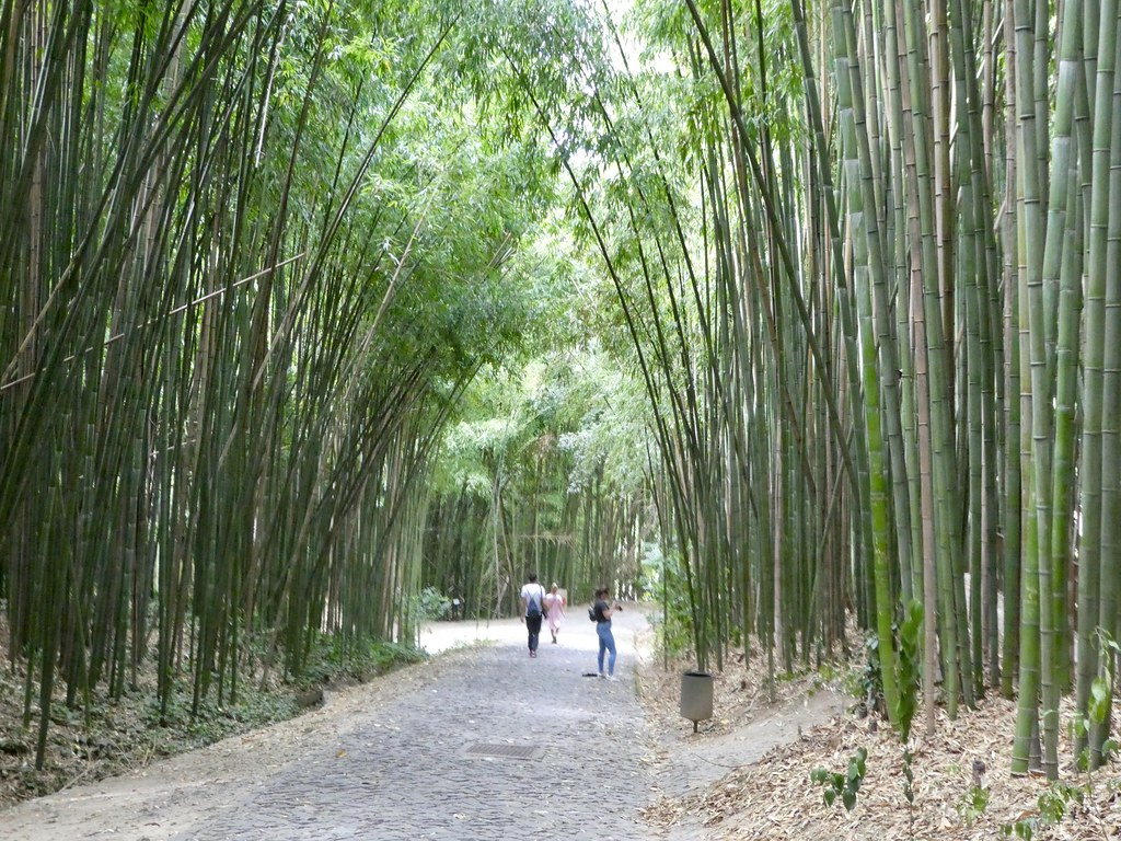 Bamboo forest, Coimbra University Botanical Gardens
