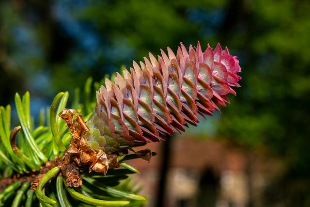 Spruce Flower