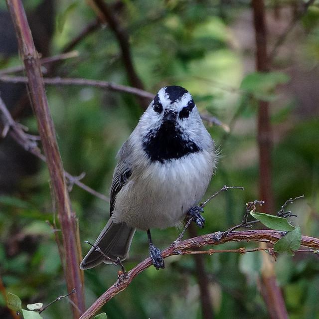 Mountain Chickadee (Poecile gambeli).  Sandia Mountains, New Mexico, USA.