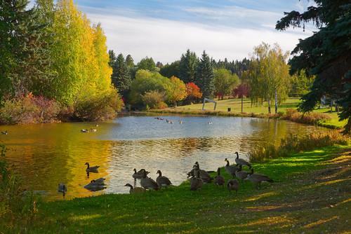 edmonton alberta canada william hawrelak park pond geese goose water fall autumn colours colors grass landscape red green orange yellow leaves pentax k1 dfa 2470 f28 wr hdpentaxdfa2470mmf28edsdmwr