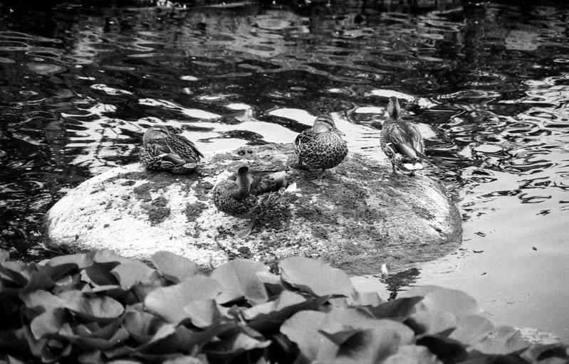 Loitering Ducks