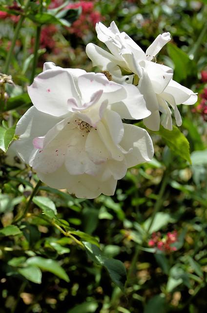 Compiègne (Oise) - Dans ma rue, fleurs de juin - Roses blanches