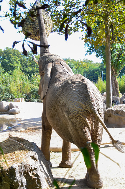 Savanneolifant (Loxodonta africana) | Zoo Duisburg