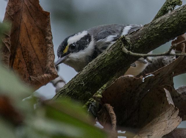 Black-throated Gray Warbler (Setophaga nigrescens)