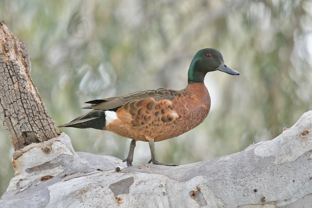 Chestnut Teal ( just looking )