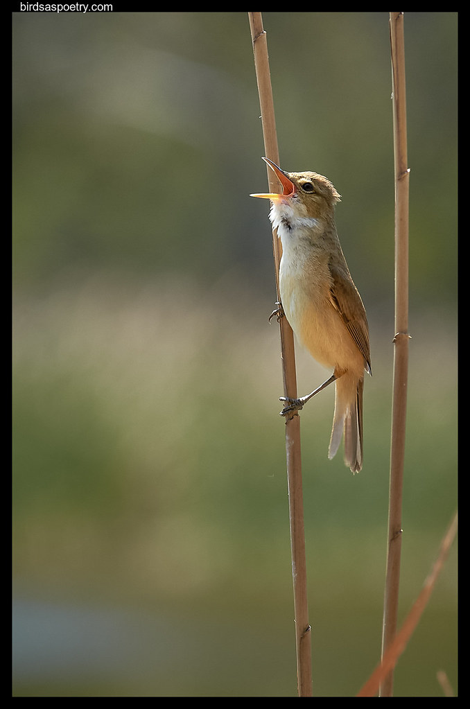 Australian Reed Warbler: Full Cry