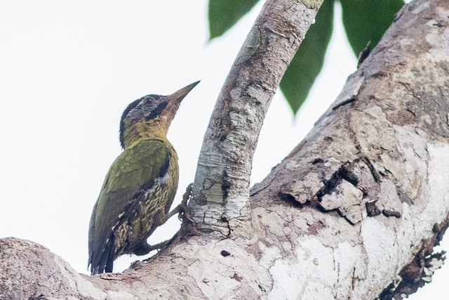 Laced Woodpecker  - female