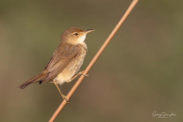 Carricero común / European reed warbler (Acrocephalus scirpaceus)