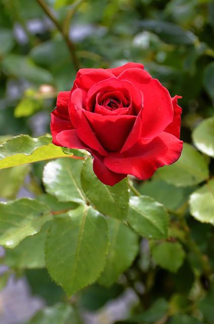 Compiègne (Oise) - Dans ma rue, fleurs de juin - Rose