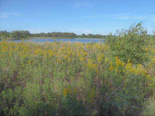 bloomingdaleil mallardlakeforestpreserve park nature flora plants green leaves foliage trees water lake yellow flowers goldenrod