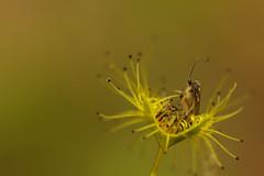 Drosera and nematoceran fly