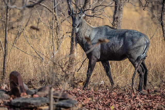 Asia's largest antelope, the Blue Bull