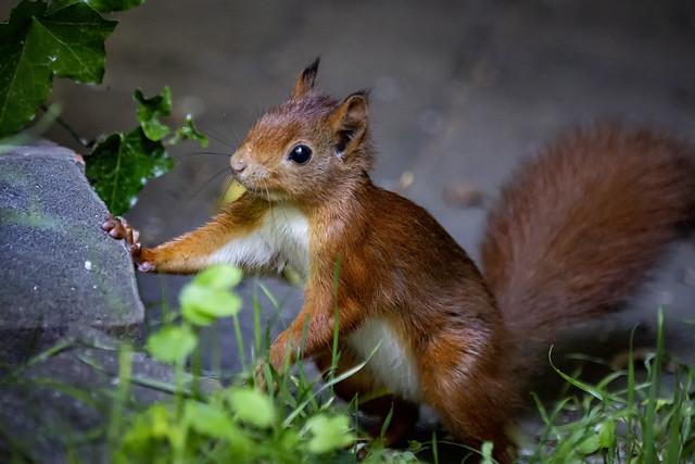 Eurasisches Eichhörnchen   Sciurus vulgaris   Red squirrel