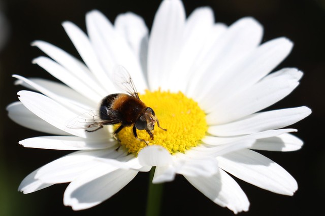 Bumble Bee Hoverfly on an Ox-eye Daisy
