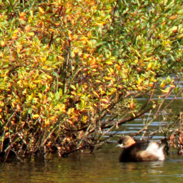 Little grebe, Tachybaptus ruficollis, Smådopping