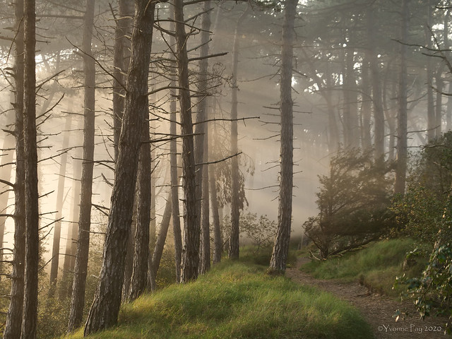 Mist in the pines